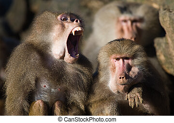 baboon teeth - baboon monkeys showing its teeth