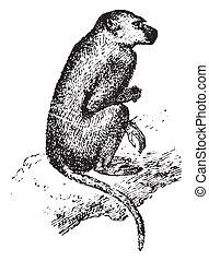 Baboon, vintage engraving. - Baboon, vintage engraved...