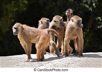 Baboons and young