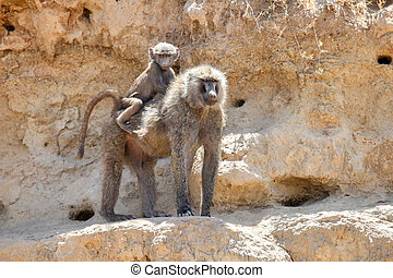 Baboon with a baby staying on a rock
