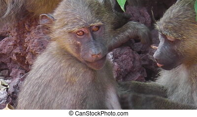 Baboons Couple cleaning - Couple of Baboons cleaning fleas...