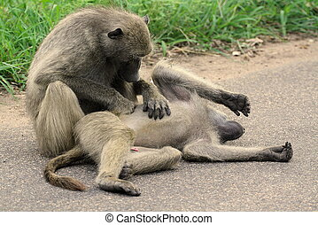 Baboons Cuddle