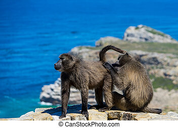 two Baboons doing body hygene or some mating ritual