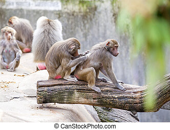 baboons grooming a friend, monkey family has a rest