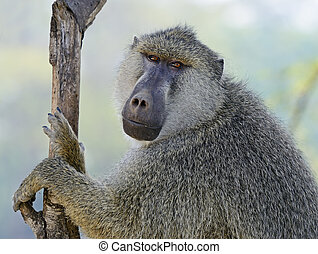 Baboons in the natural habitat. Africa