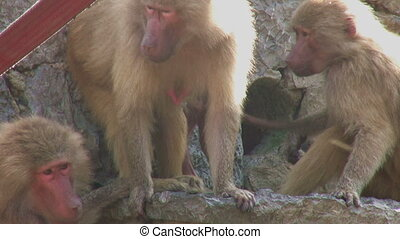 Baboons preening each other
