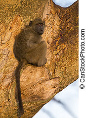 Baboons sit in a tree in the early morning sun