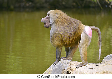 babouin hamadryas, sur, rocher