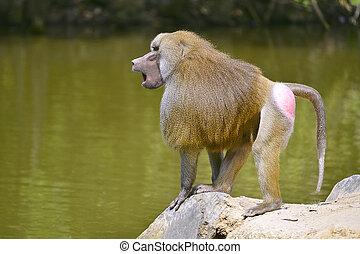 babuíno hamadryas, ligado, rocha