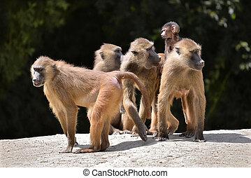 babuínos, e, jovem