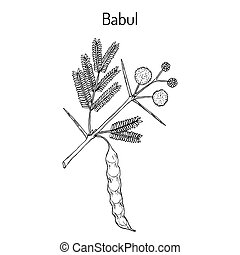 Babul Vachellia nilotica , or thorny acacia, medicinal...