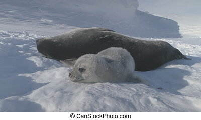 Baby, Adult Weddell Seal Family in Antarctica