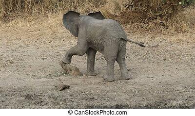 Playful baby African elephant (Loxodonta africana), South Africa