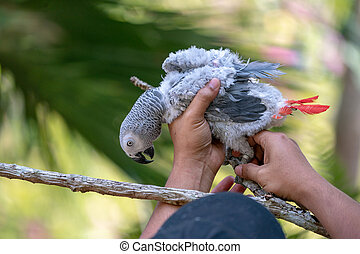 Baby African grey parrot with red tail hang on to the branch in the forest