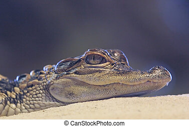 Baby American Alligator just after hatching in the Florida Everglades