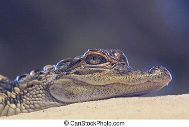 Baby Alligator - Baby American Alligator just after hatching...