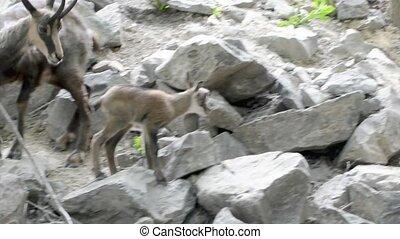 Alpine chamois kid, its scientific name is Rupicapra rupicapra rupicapra