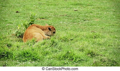 Baby American Bison Lying Down Alone During a Hot Day