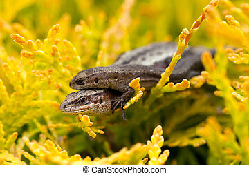 Baby and parent Viviparous lizard - Two lizards known as...
