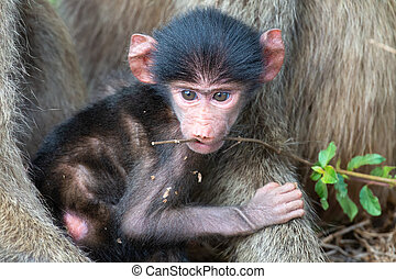 Baby baboon sitting in the safety of its mother and play with a stick