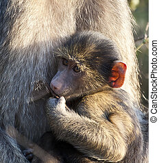 Baby baboon sitting on his mother's lap in the morning sun