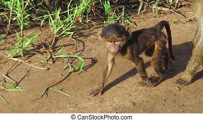 baby baboon walking
