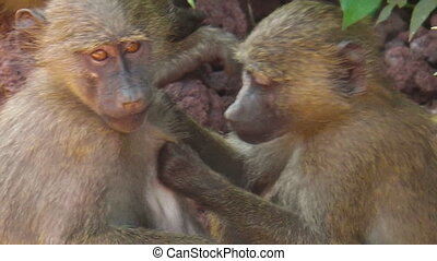 baby baboons cleaning