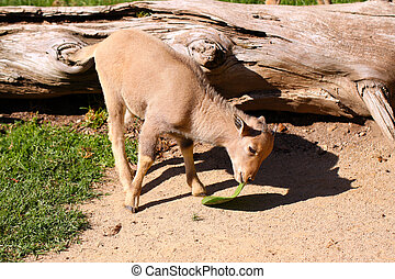 Baby Barbary Sheep (2 month old female) attempting to eat a...