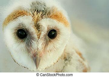 Face of a new born baby barn owl.