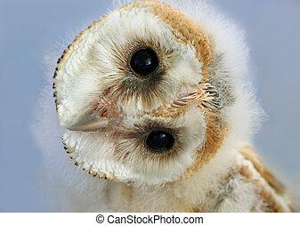 Portrait of a baby barn owl with its head naturally rotated. Owls have the ability to rotate their heads in this way.