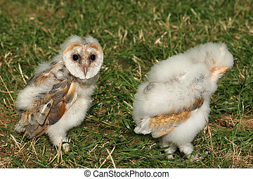 Baby Barn Owls - Pair of baby barn owls walking on the grass...