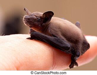 Baby Bat (Pipistrellus pipistrellus) - Sweet baby bat on my...