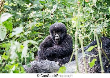 baby, berg, silverback gorilla