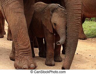 baby, beschermd, moeder, elefant