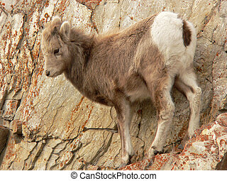 Baby Bighorn on Ledge - Young Bighorn Sheep (Ovis...