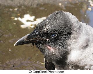 Baby bird of a crow.