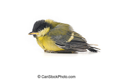 Baby bird of a titmouse