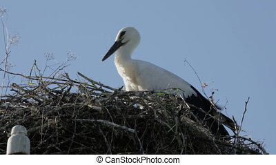 Baby bird of a white stork in a nest with the feathers moving not to wind