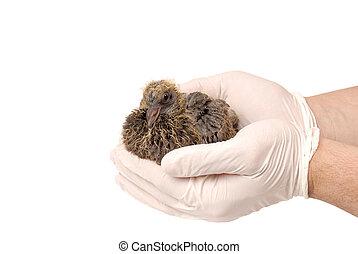 Baby bird of pigeon in hand