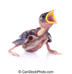 Baby bird of swallow solated on white and hungry for food