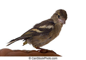 Baby bird of the chaffinch