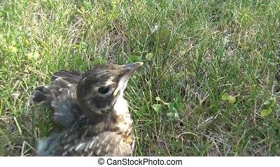 Baby Bird Running in Grass - Baby bird sits still and then...