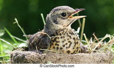 Baby bird thrush Fieldfare sitting in a nest on a sunny...