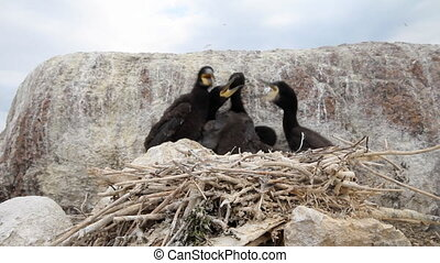 Baby birds of a cormorant in a nest close up
