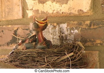 Baby Birds Want Food - Close-up of baby birds struggling to...