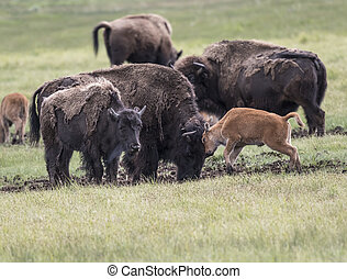 Baby bison gently head-butting his Mom for a little ...