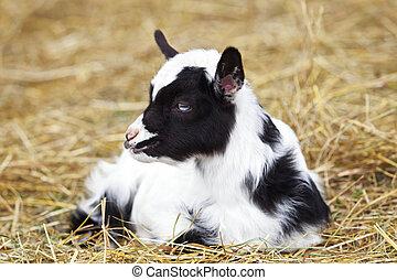Baby black and white lamb