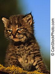 baby, bobcat