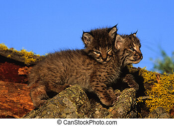 Baby Bobcat on Log - a baby bobcat on a moss covered log
