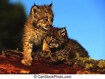 baby, bobcats, på, logga